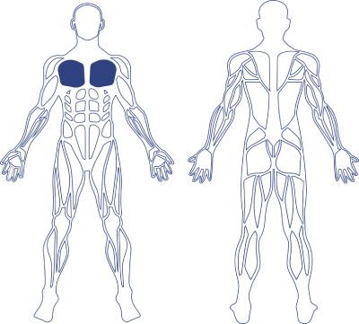 Human Chest Muscle Model