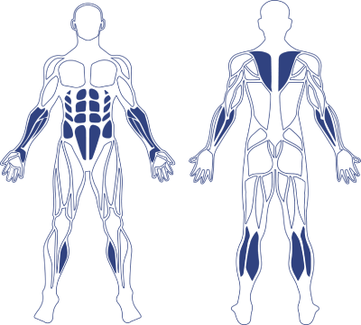 Human Smaller Muscle Model